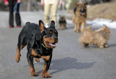 Une fillette gravement blessée par deux rottweilers