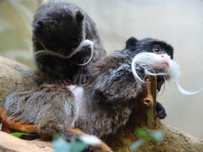 Deux des quatre singes volés au zoo de la Tête d'Or retrouvés à Vénissieux