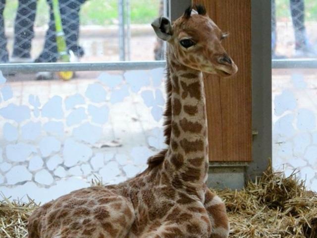 Naissance d'un girafon au parc de la Tête d'Or : les Lyonnais invités à lui trouver un nom