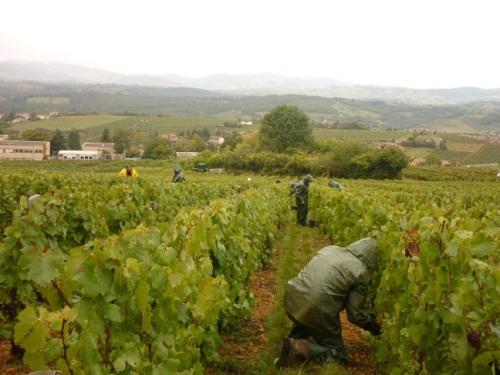 Coup d'envoi des vendanges dans le Beaujolais : un bon cru 2015, même pour l'emploi ?