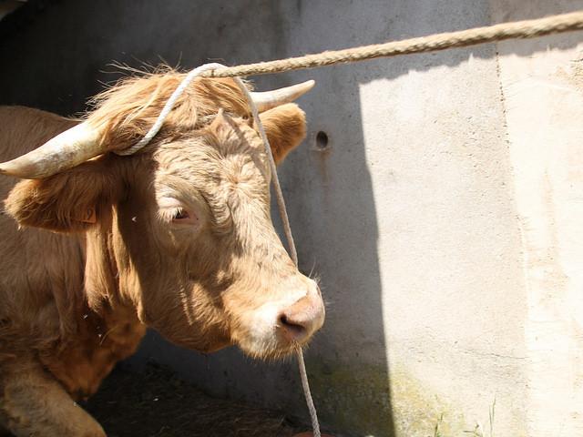 Nord-Isère : un quadragénaire blessé après avoir été encorné par un taureau