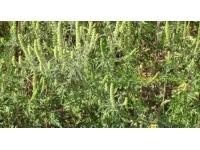 Allergies : les pollens d'ambroisie toujours présents dans le Rhône
