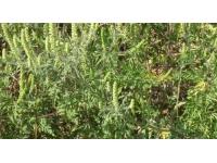 Rhône : les pollens d'ambroisie toujours là, mais un peu moins présents