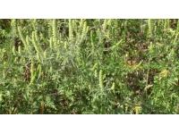 Rhône : les pollens d'ambroisie encore présents