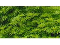 Une vague d'interpellations dans la région pour un trafic de cannabis