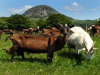 Parc de Miribel-Jonage : après les moutons, les chèvres !