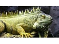Un iguane sème le trouble à Saint-Cyr-au-Mont-d'Or