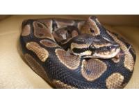 Un python découvert dans un local poubelle près de Lyon