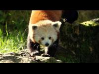 Un deuxième panda roux vient d'arriver au zoo de Lyon