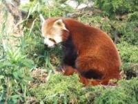 Un panda roux au zoo de la Tête d'Or