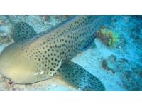 Deux nouveaux requins-léopards rejoignent l'Aquarium de Lyon