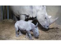 Naissance d'un rhinocéros blanc au Safari de Peaugres, le second dans la région depuis la Préhistoire