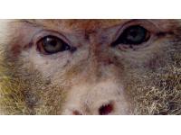 Un singe magot découvert dans une maison à Bron