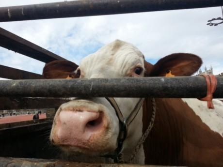 Près de Lyon: une vache retrouvée vivante après plus d'un mois de cavale