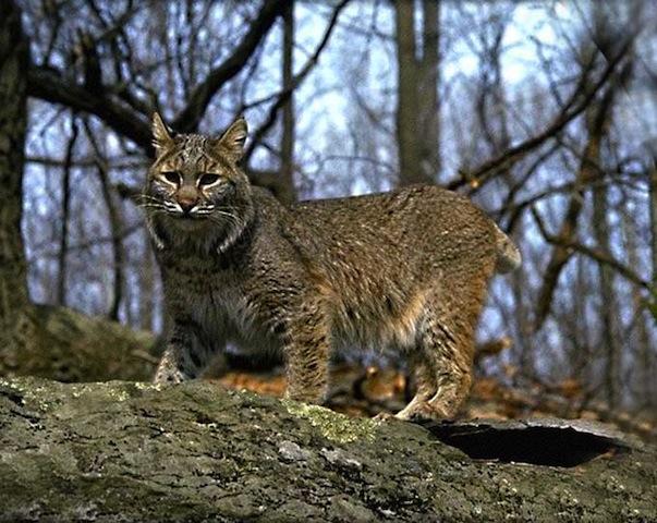 Il y a un lynx dans le département du Rhône
