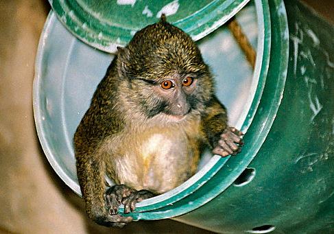 L'un des quatre singes volés au zoo du parc de la Tête d'or a été retrouvé