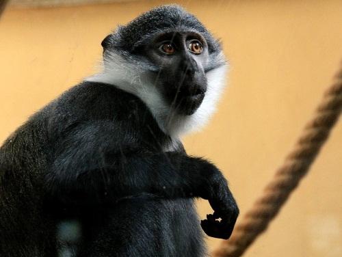 Exclu Radio Espace : le 4e singe volé à la Tête d'or a été retrouvé