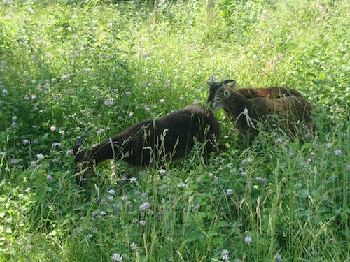 Les moutons de Soay quittent la Feyssine