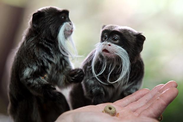 Quatre singes volés au zoo de la Tête d'Or