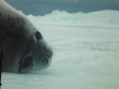 L'exposition Antarctica prolongée au musée des Confluences