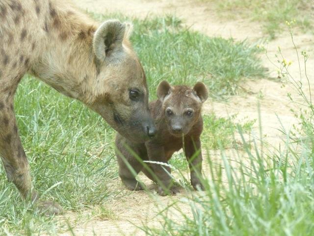 Un bébé hyène voit le jour au Safari de Peaugres