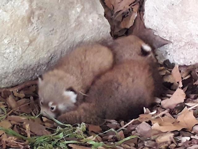 Naissance de deux pandas roux à la Tête d'Or : les Lyonnais invités à leur donner des noms !