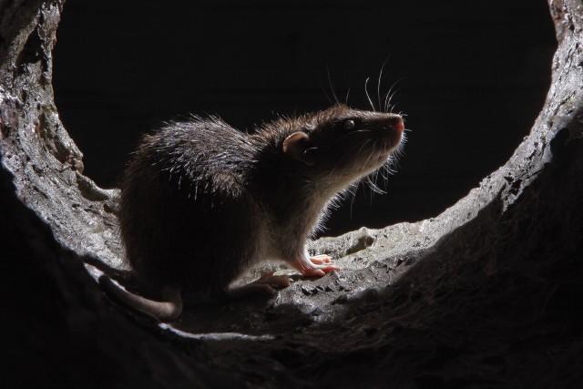 Rhône : il nourrissait les rats qui infestaient sa commune