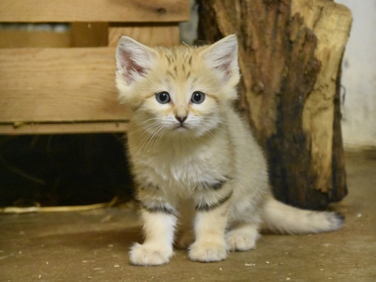 Quatre chats des sables voient le jour au zoo de Lyon