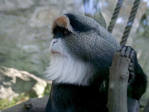 Le 4e singe volé à la Tête d'or a été retrouvé