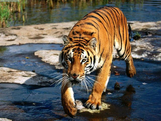 Interpol veut lutter contre le trafic de tigre