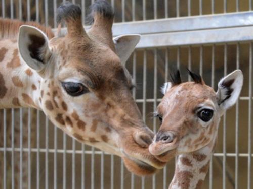 Le girafon du parc de la Tête d'Or baptisé Yanci