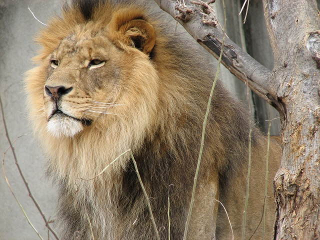 Villeurbanne : mordue par un lion au Kenya, la victime est soignée au Tonkin