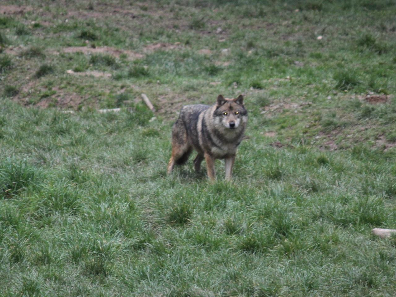 Un loup repéré pour la première fois dans la Loire