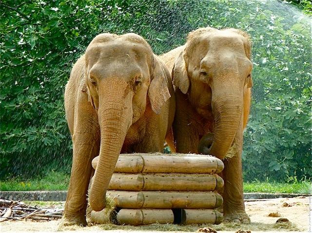 Les deux éléphants du parc de la Tête d'Or pourraient être euthanasiés
