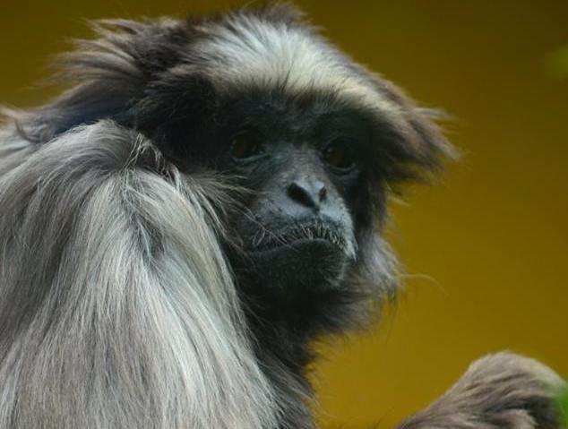 Lyon : mort de Lulu, la célèbre gibbon du parc de la Tête d'Or