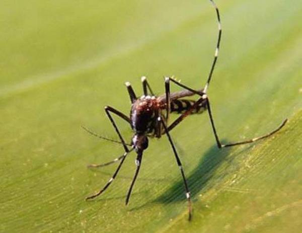 Le moustique-tigre : danger de l'été dans le Rhône ?