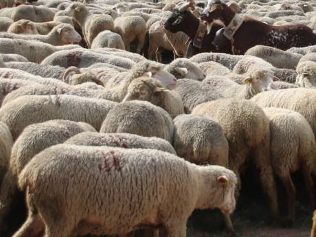 "L'association Dignité animale manifeste ce jeudi contre ""le sacrifice animal de l'Aïd"""