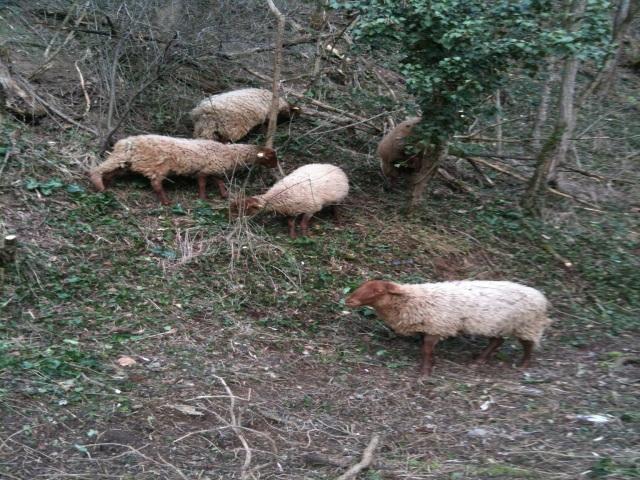 Mions : de nouveaux cadavres de moutons retrouvés