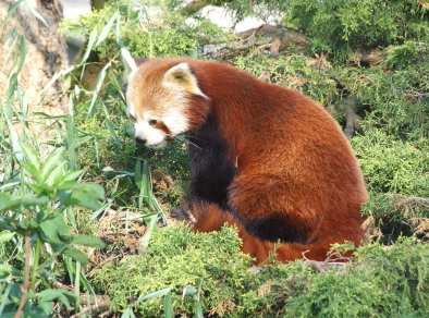 Le panda roux du Parc de la Tête d'Or - Photo Ville de Lyon/DR
