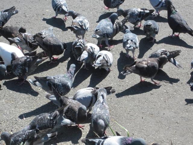 """Grippe aviaire : Vénissieux en """"zone à risque prioritaire"""""""