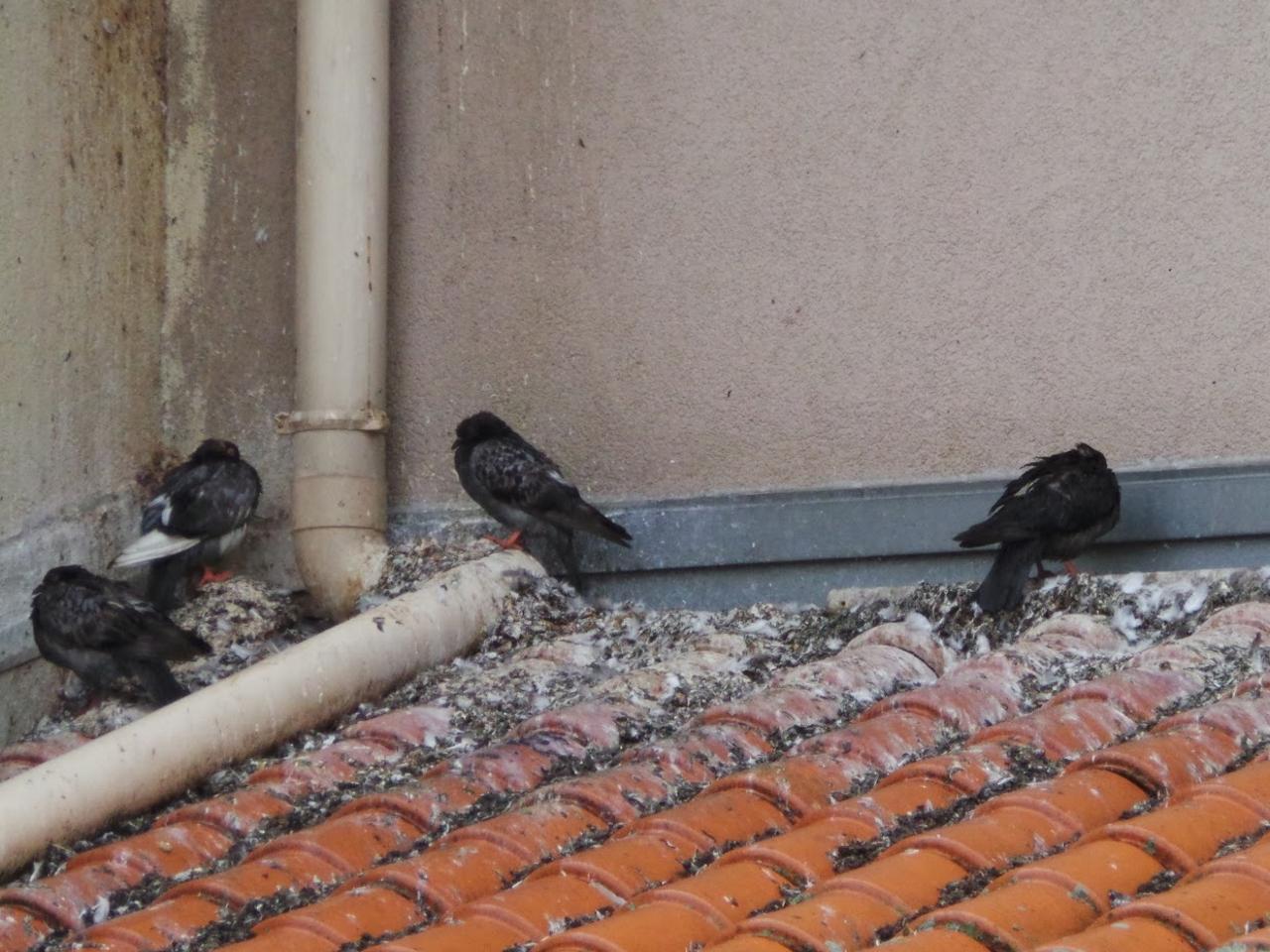 Submerges De Pigeons Et De Fiente Des Residents De Hlm A Bout Pres