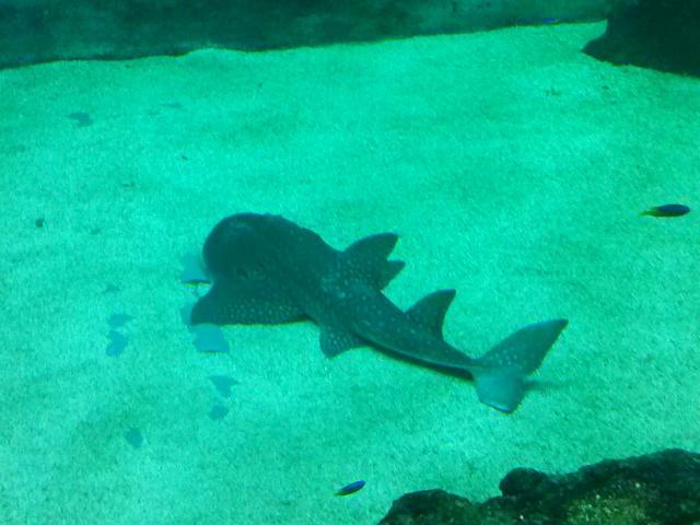 La raie Rhina est la nouvelle pensionnaire de l'Aquarium de Lyon