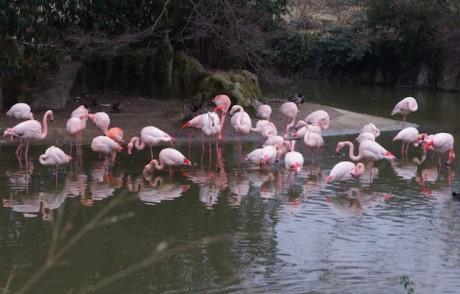 Les flamands roses du zoo de la Tête d'Or - LyonMag