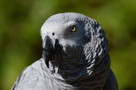 perroquet gris du Gabon - DR
