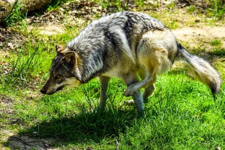 Un loup au safari de Peaugres - DR
