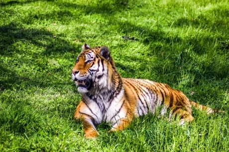 Tigre au zoo de Peaugres - DR