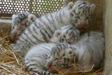 Les quatre bébés tigres blancs - Photo DR