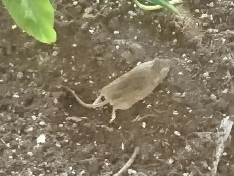 Une souris se balade dans l'école