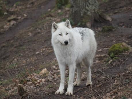 Les loups de Courzieu - LyonMag