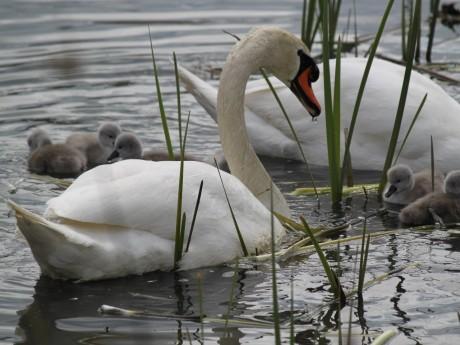 Il s'agissait de cygnes contaminés par la grippe aviaire - LyonMag